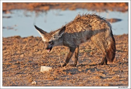 Bat-eared Fox by Photo © Jan van Wyk