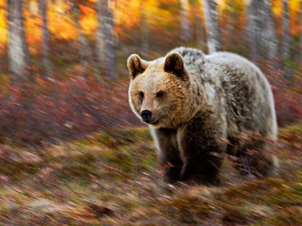 bear-in-motion-finland_42695_990x742