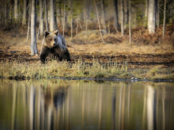 bear-karelia-finland_55572_990x742