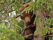 bear-yearling-tree_61137_990x742