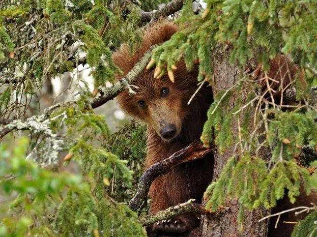 bear-yearling-tree_61137_990x742