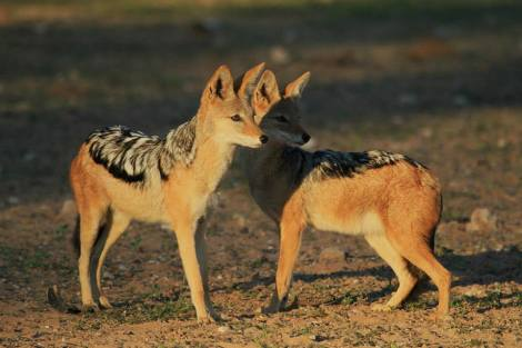 Black-backed Jackal - Canis mesomelas - The Flacks Photography