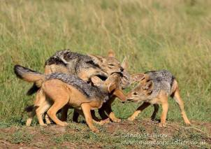 Black-backed Jackals at their den...