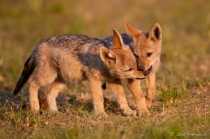 Black-backed jackals Rietvlei Dam - Isak Pretorious Wildlife Photography