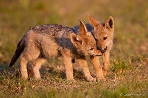 Black-backed jackals Rietvlei Dam - Isak Pretorious Wildlife Photography