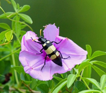 blister beetle - and boy are they sore.....