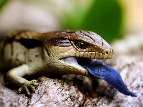 blue-tongued-lizard_36897_990x742