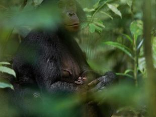 Bonobo and baby - Congo - Photograph by Christian Ziegler