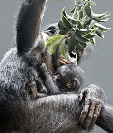 Bonobo with baby