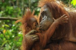 Bornean orangutans (photo courtesy BOS)