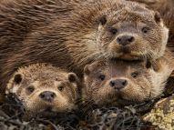 british-otters-james_62973_990x742