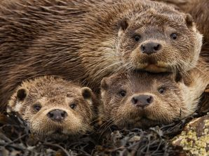 british-otters-james_62973_990x742