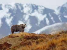 brown-bear-mountains_28384_990x742