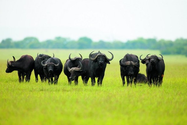 buffalo-herd Singita