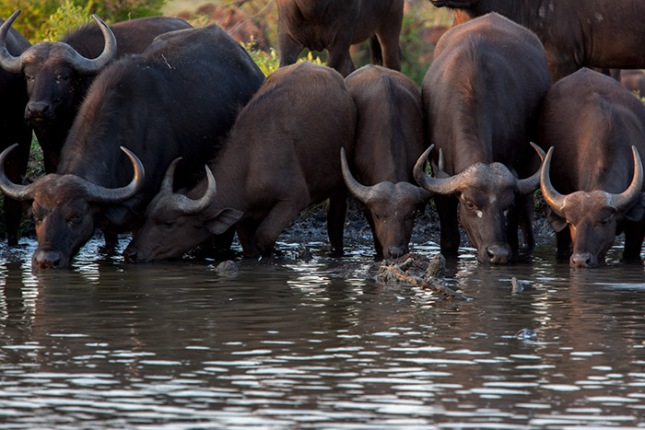 buffalo-in-line