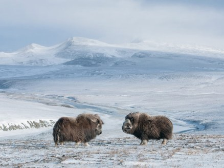 Bull Muskoxen on Wrangle Is. by Sergey Gorshkov