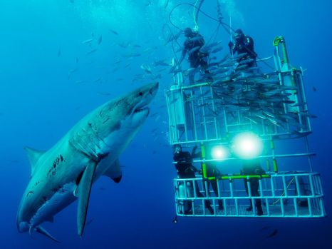 cage-divers-great-white_45671_990x742