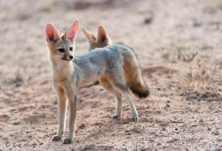 Cape Fox photographed in the Kgalagadi NP.