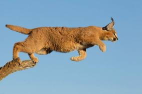 Caracal, Kruger NP - ©2011 Stu Porter Photography