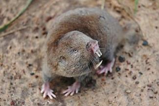 Caroline's mole rat (Fukomys vandewoestijneae)