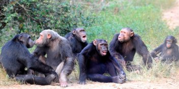 Chimpanzees socializing at the Sanaga-Yong Chimpanzee Rescue Center in Cameroon