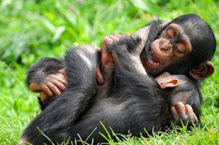 Chimps playing - Photo by Tambako the Jaguar