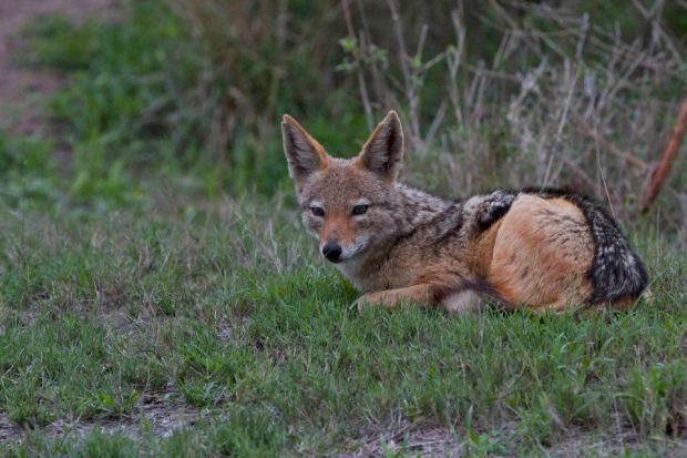 Chitwa Chitwa Black Backed Jackal