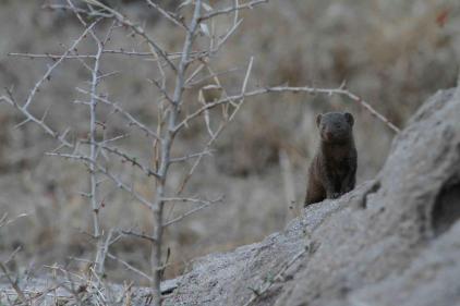 Chitwa Chitwa Dwarf Mongoose