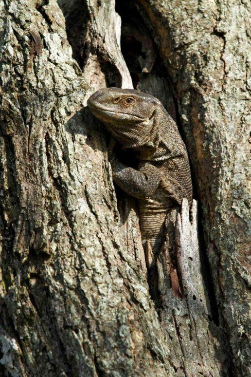 Chitwa Chitwa Rock Monitor Lizard