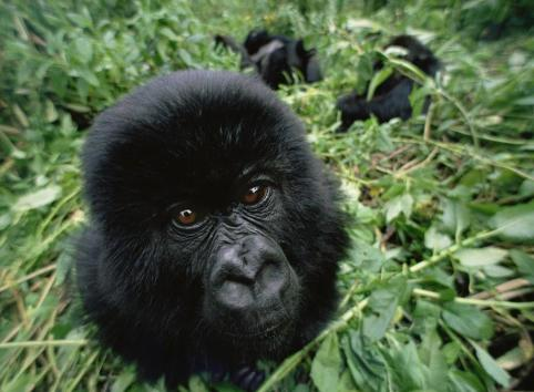 Close-up Mountain gorilla portrait