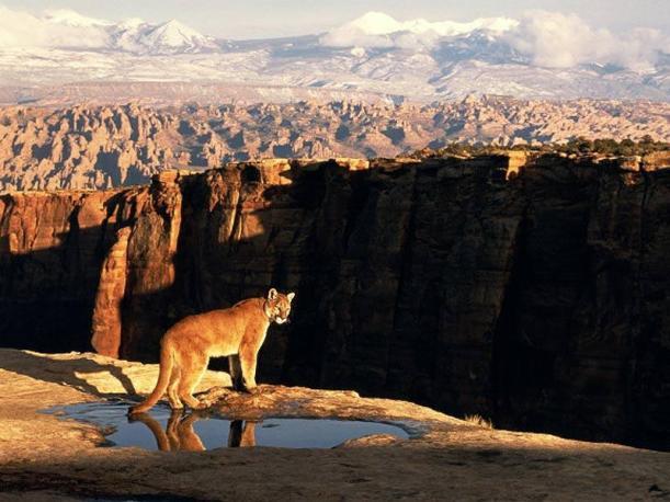 Cougar (Puma)