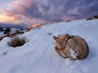 coyote-yellowstone_56393_990x742