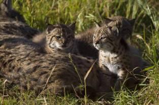 Cubs - Lynx Pardinus
