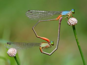 damselflies-heart-shape_31778_990x742