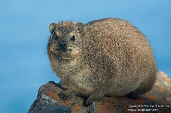Dassie - A rock hyrax (Procavia), photographed along the southern Cape coast.