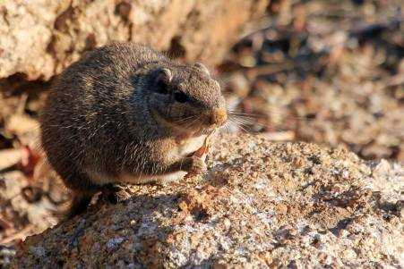 Dassie Rat - Petromus typicus - The Flacks Photography