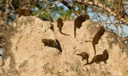 Dwarf Mongoose at Londolozi