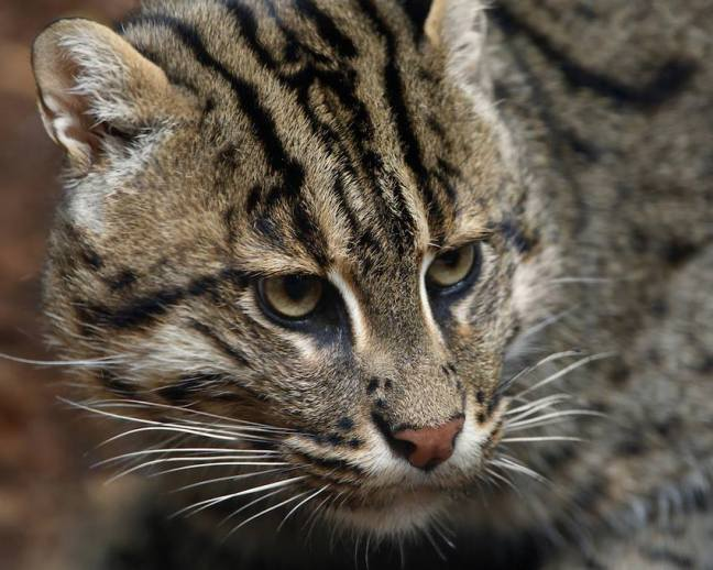 Fishing cat (Prionailurus viverrinus) is a small felid inhabiting the swamps and mangroves of Southeast Asia