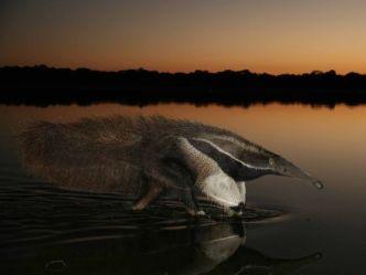 giant-anteater-brazil_67089_600x450