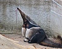 Giant Anteater tongue extended