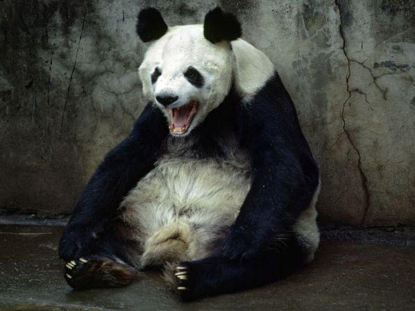giant-panda-cobb