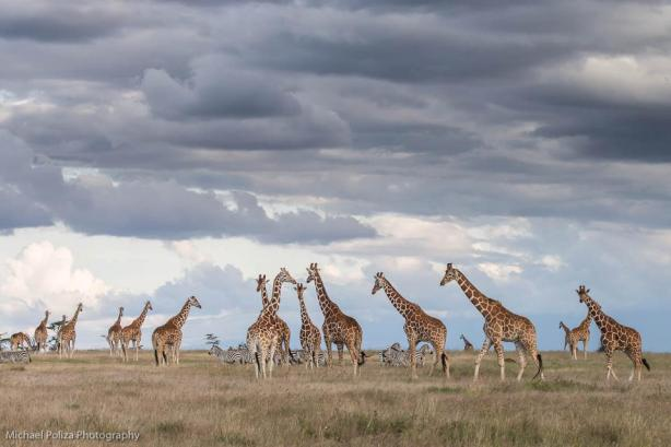 Giraffe and thunderheads - Michael Poliza Photographer
