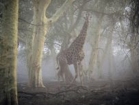 giraffe-misty-forest_Nduma Reserve South Africa