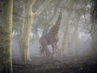 giraffe-misty-forest_Nduma Reserve South Africa