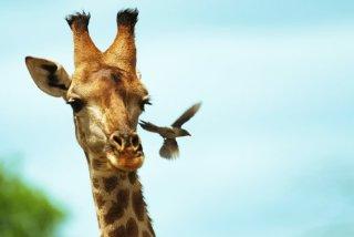 giraffe Singita