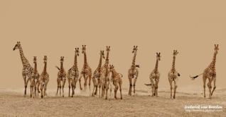Giraffe stampede by Frederick van Heerden.