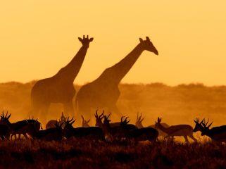 giraffes-gazelles-namibia_55579_990x742