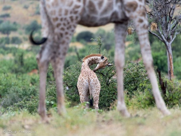 Got an itch - Isak Pretorius Wildlife Photography