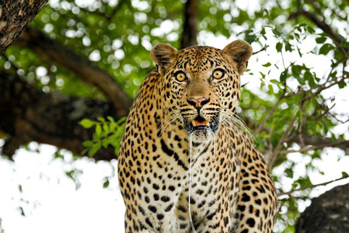 Gowrie male staring at hyenas - Londolozi April 2013
