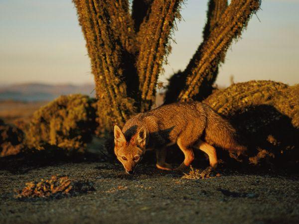 gray-fox-Atacama Desert Chile